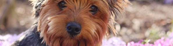 General Image - Dog Yorkie